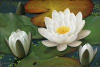 Waterlelies - Jan Voerman jr